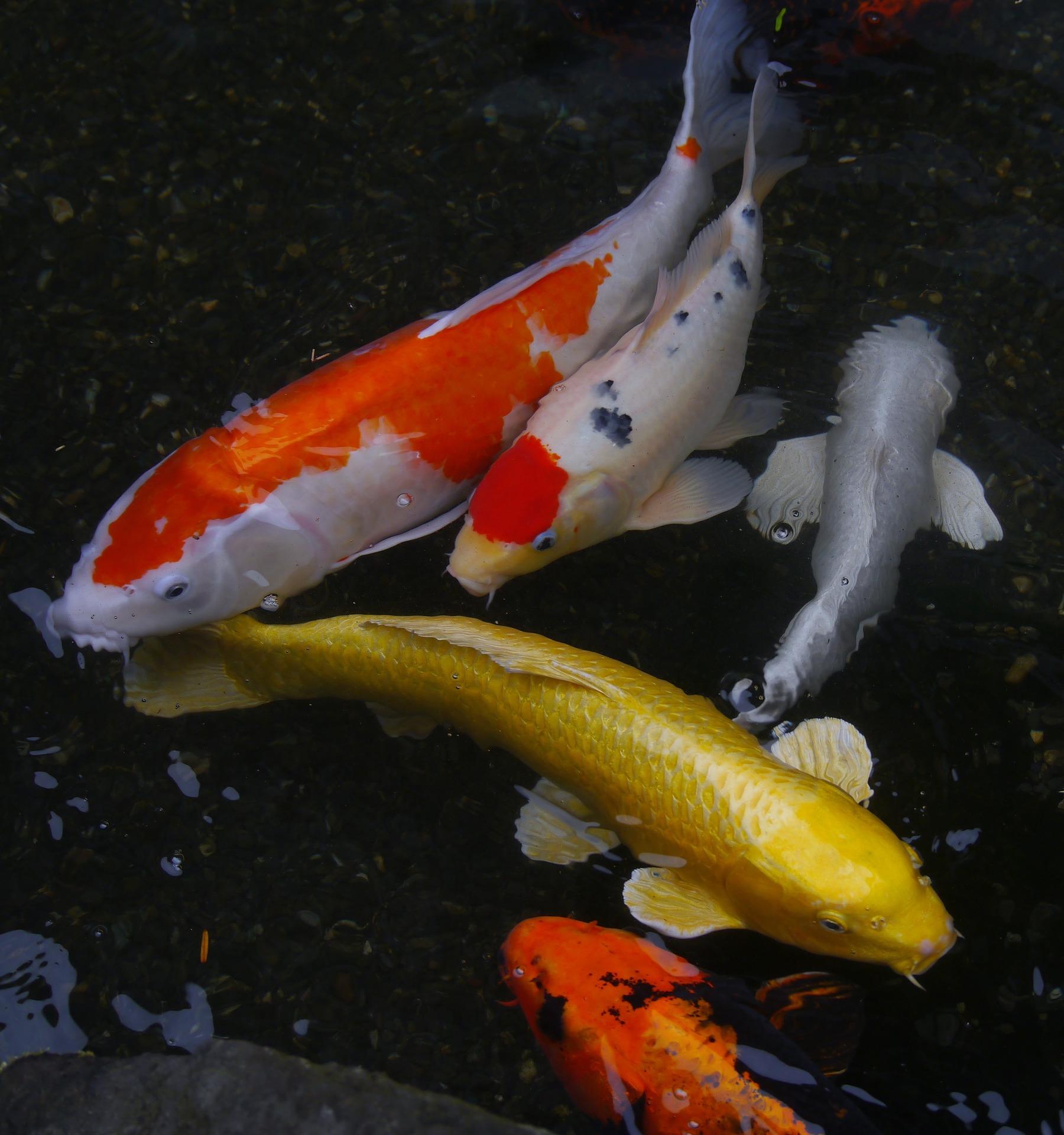 aquarium-fish-1447341_1920